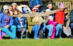 Eule fliegt bei Greifvogelshow