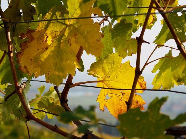 vineyard-3762438_640